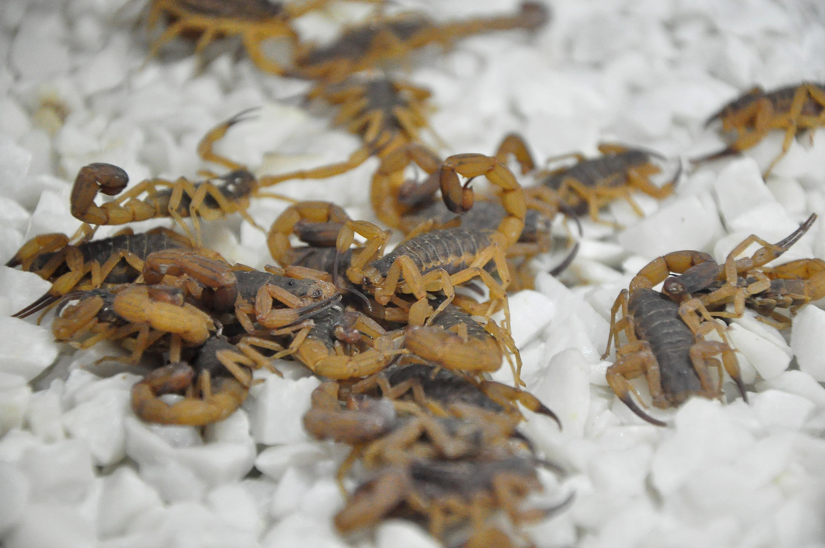 Resultado de imagem para 14 escorpiões